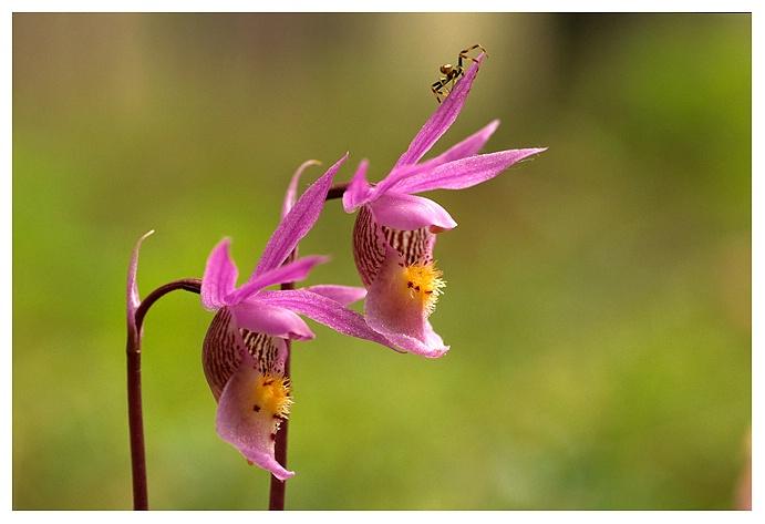 Calypso Orchid  & Spider, Saskatchewan
