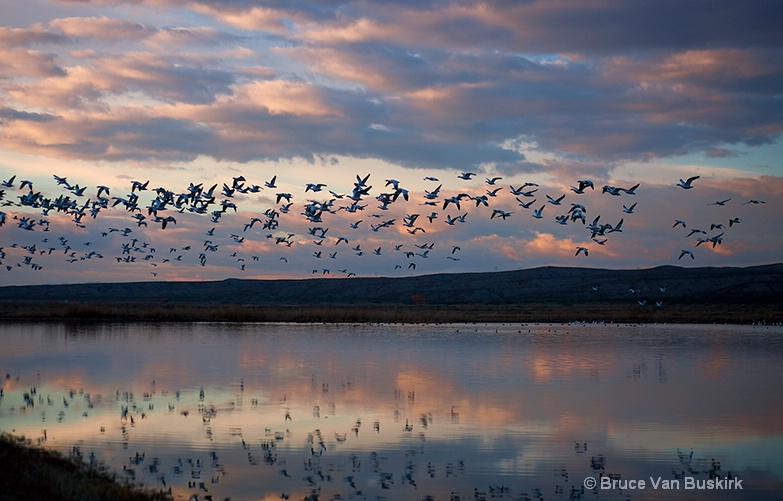 Snow Geese in New Mexico