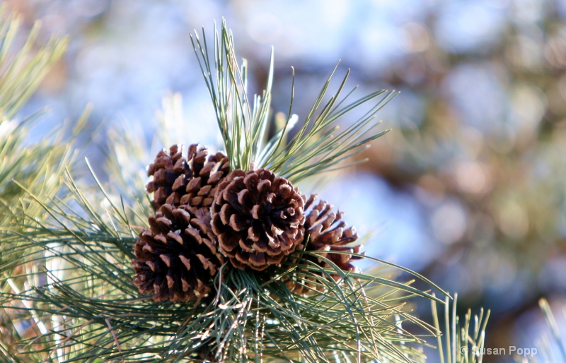Mountain Pinecones