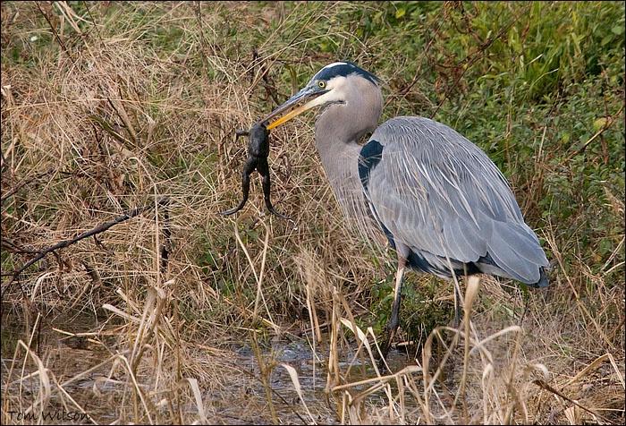 "Great Blue Heron ""Tastes Like Chicken"""