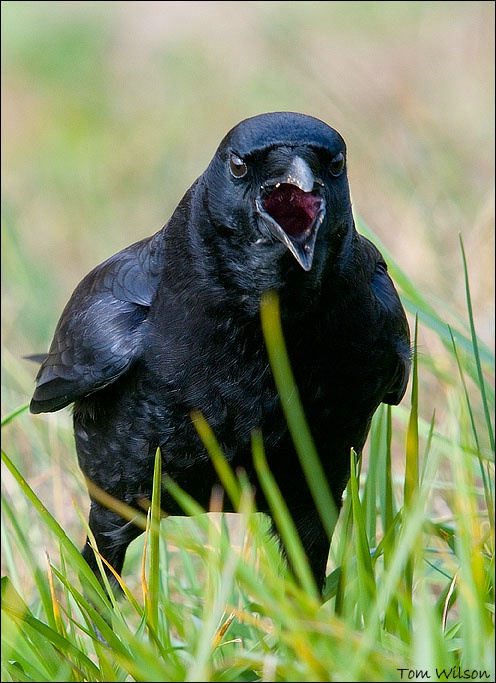 "American Crow ""CAW!"""