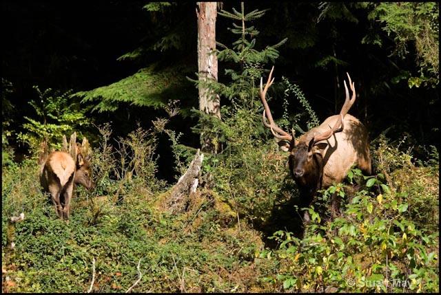 bull elk and calf