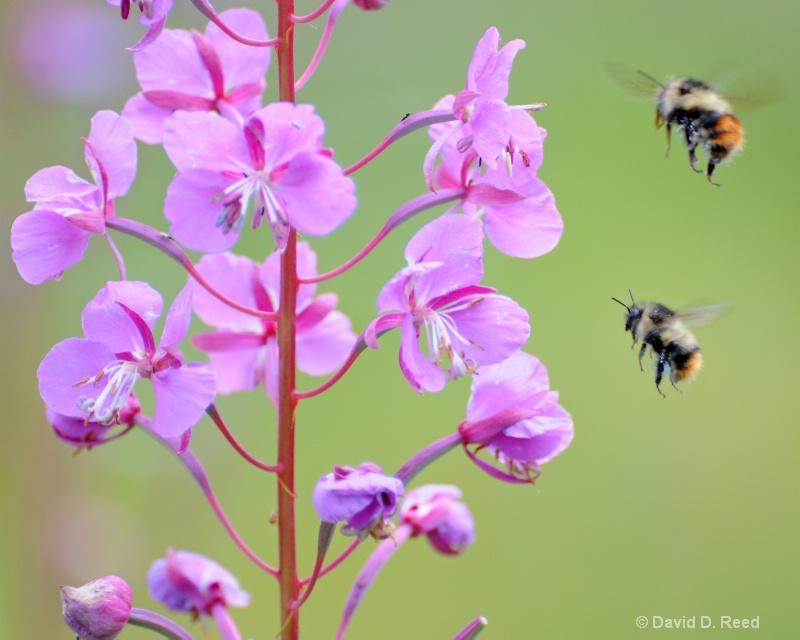 Firebush Nectar