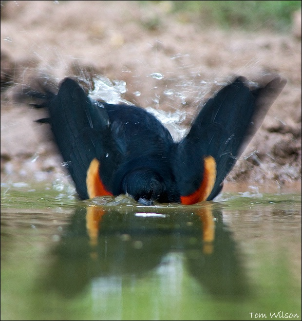 Blackbird Bath