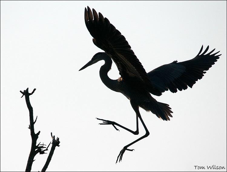 Heron Landing Silhouette