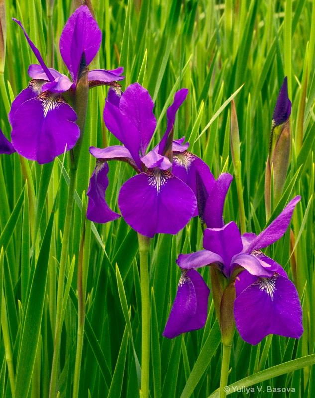 Japanese Irises<p>