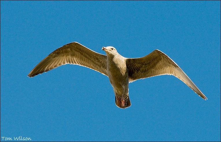 Immature Herring Gull Flying