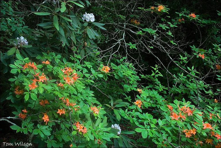 Flame Azalea and Rhododendron