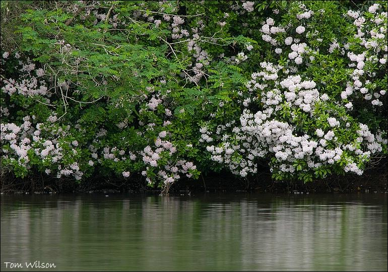 Mountain Laurel on the Chattahoochee River