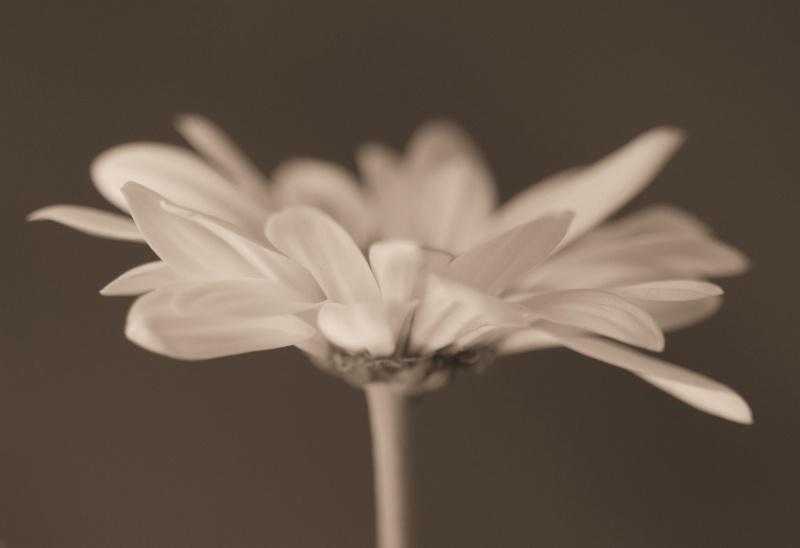 Soft Daisy
