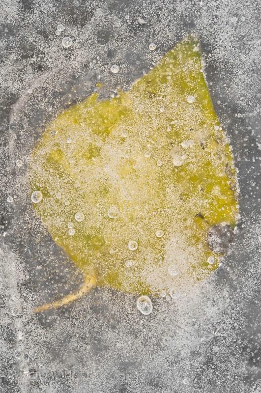 Frozen Greenbrier Leaf