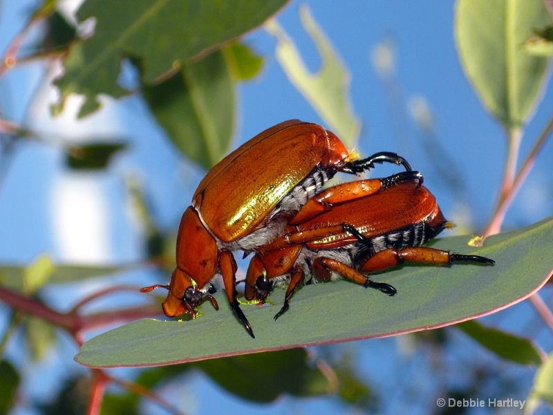 Christmas beetles eating