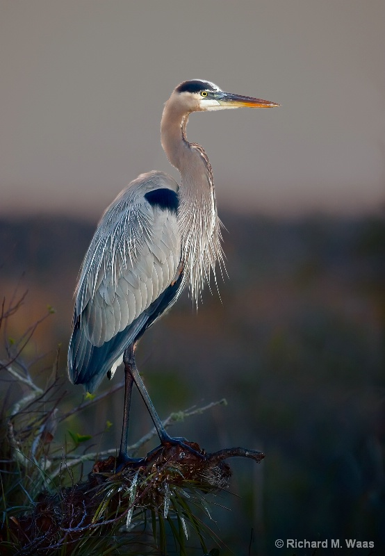 Great Blue Heron at Anhinga
