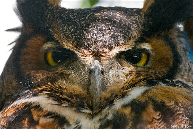 Great Horned Owl (Captive)