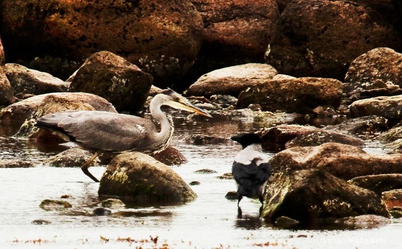 Heron and the black bird