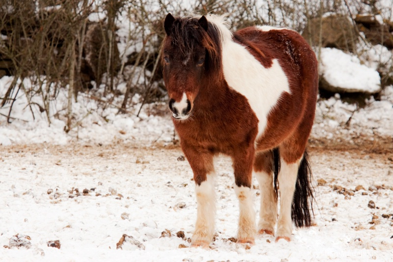 Ponny horse