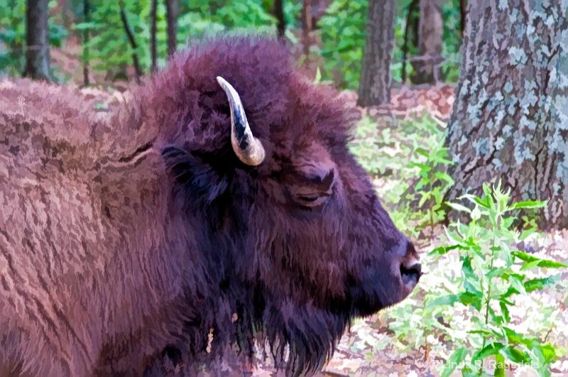 side view buffalo