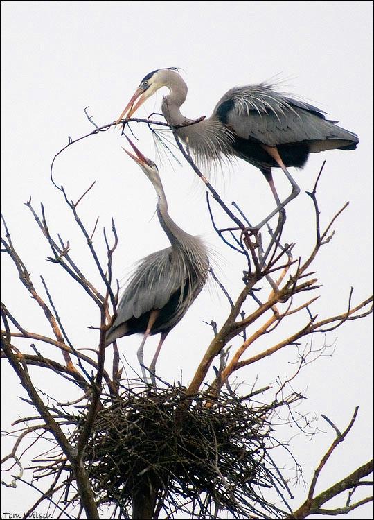 Heron Courtship Present