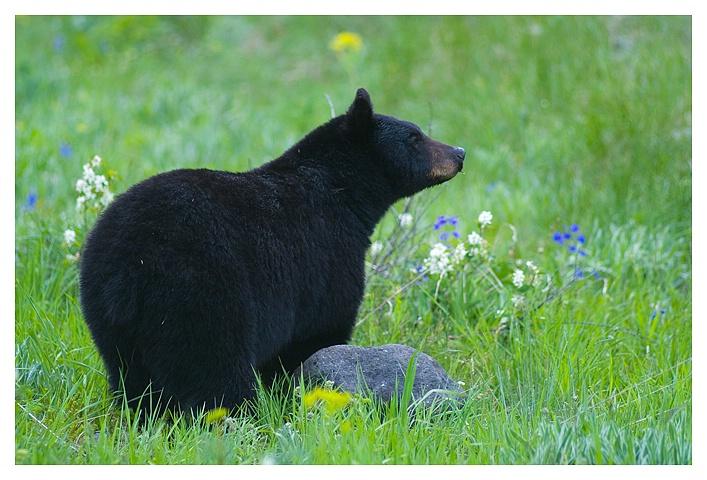 Black Bear, Wateron NP