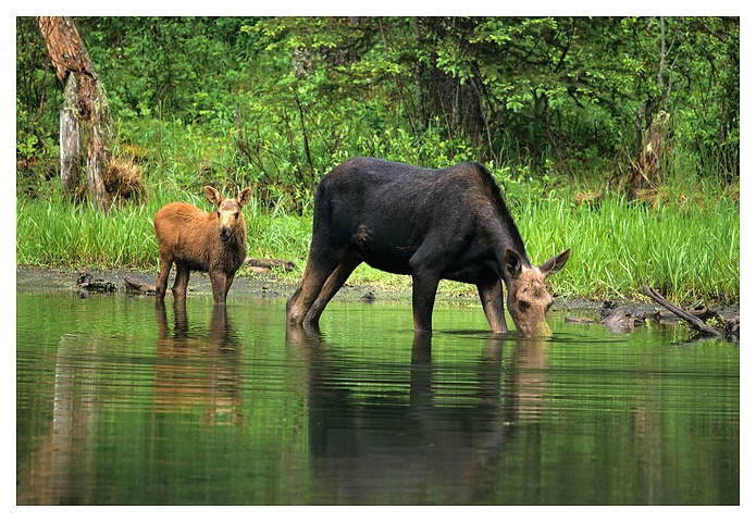 Moose Cow and Calf, Cypress Hills SK