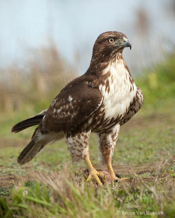 Hawk sitting on his prey
