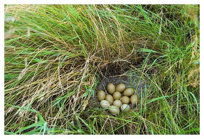 Dozen Sharptail eggs