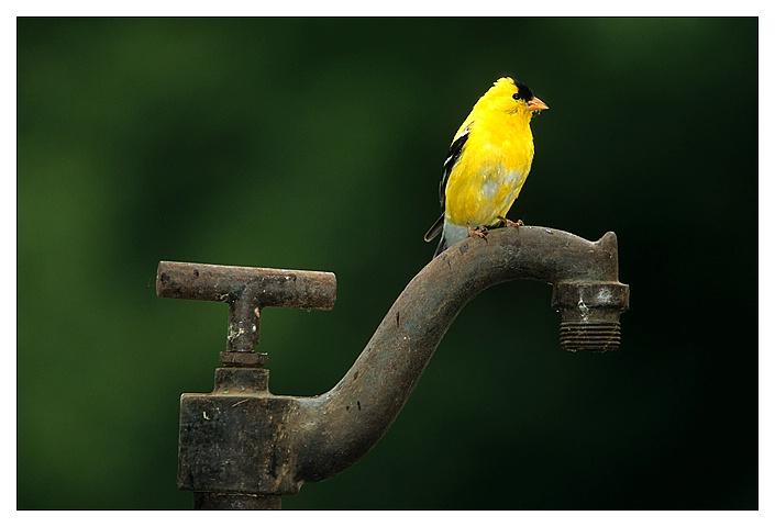 Goldfinch on pump
