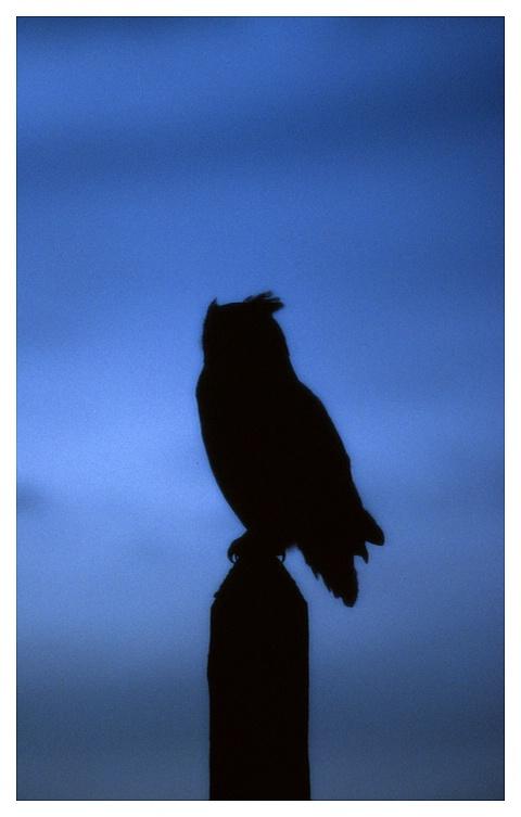Horned Owl on telephone pole at dusk