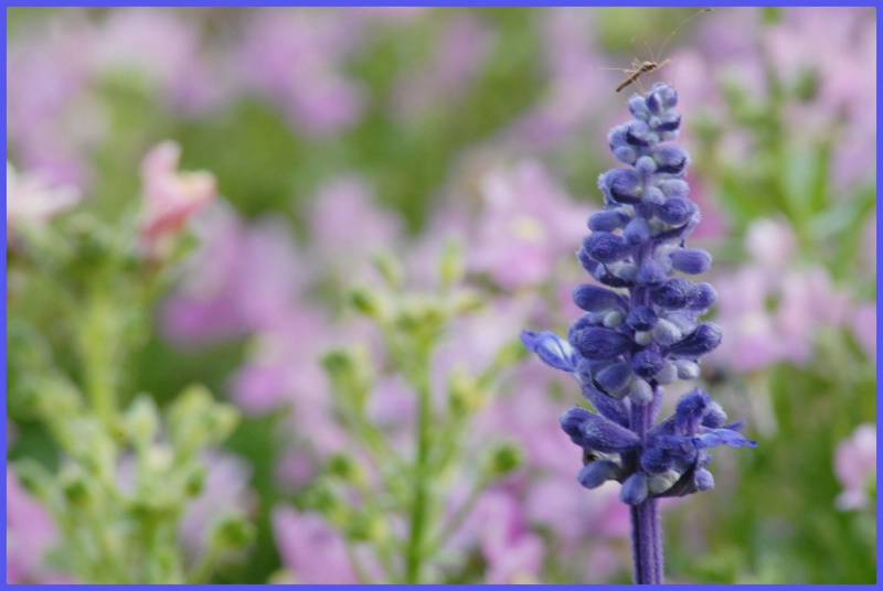 Blue salvia and  Friend