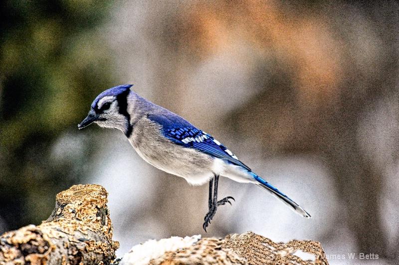 Blue Jay Jump