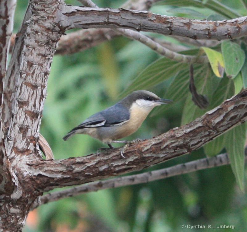 Garden Songbird. . .