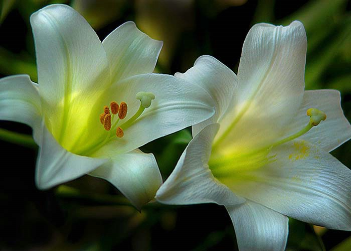 easter lilly 2