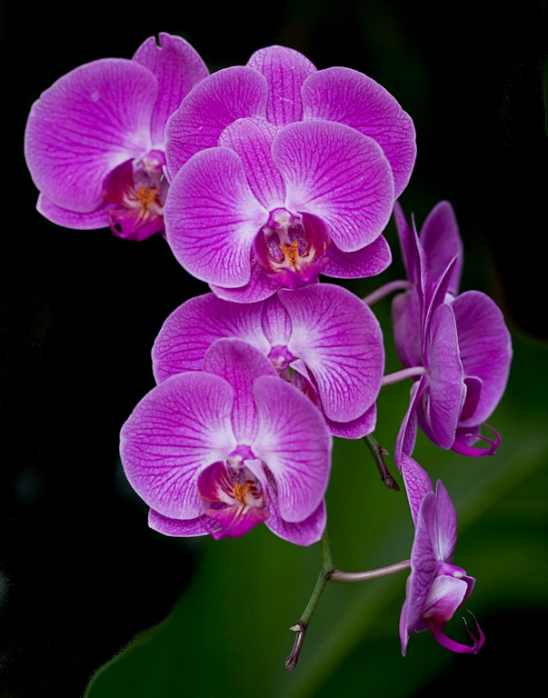 flowing  orchids