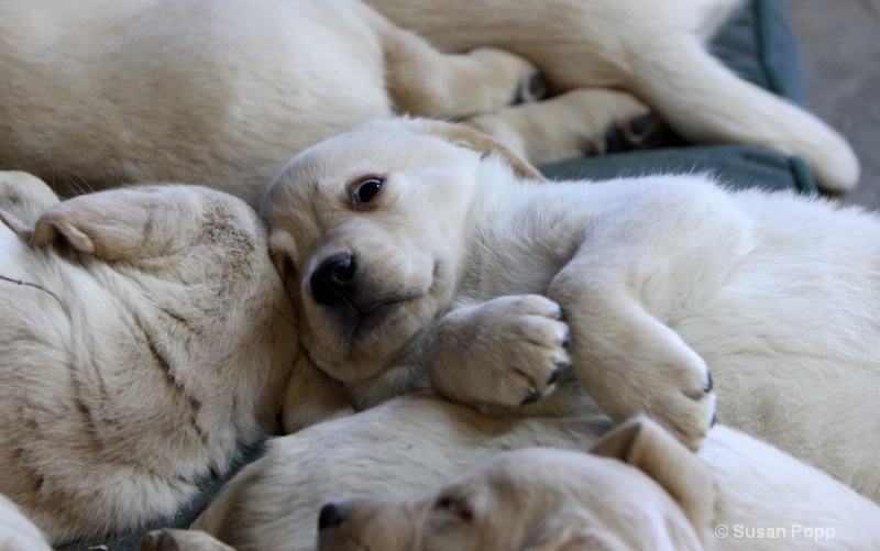 A puppy pile