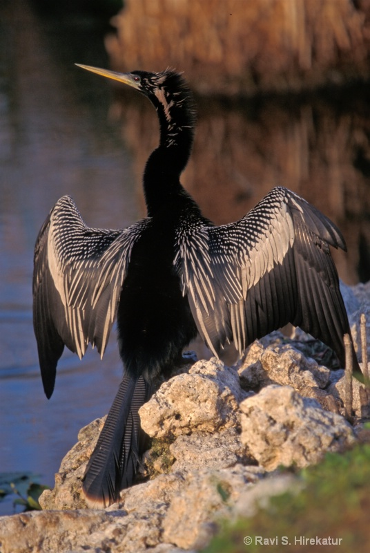 Anhinga drying feathers