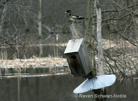 Sand Bar Refuge Area  Wood Duck