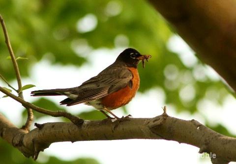 Grand Isle SP hungry robin