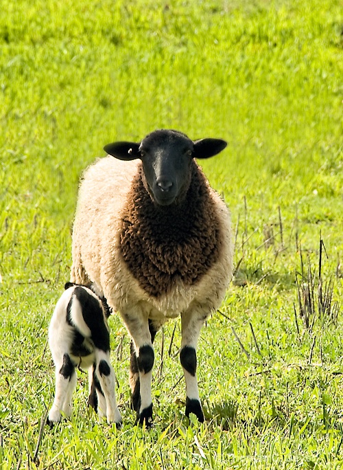 2-3 Sheep