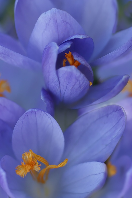 Crocus Blues