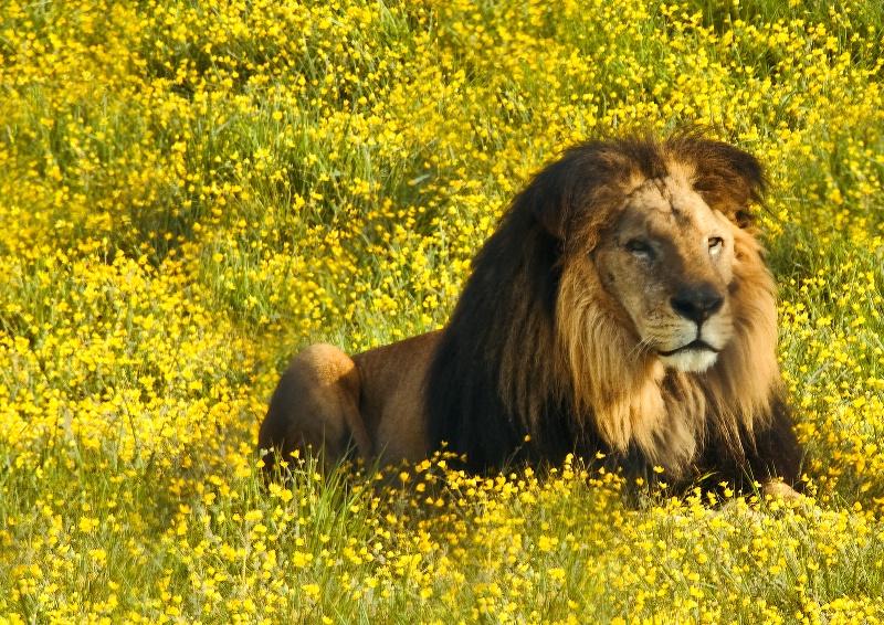 The Golden King, Wildlife Safari-Oregon
