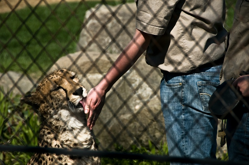 Taini, Safari Ambassador Cheetah-OR