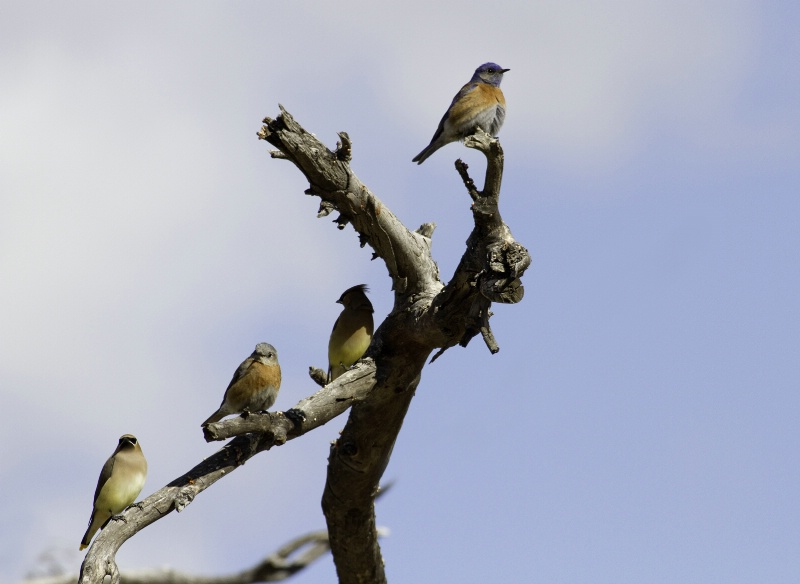 Bluebirds and Waxwings