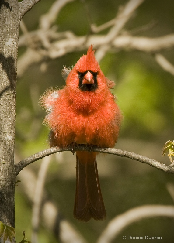 Male Cardinal with Attitude
