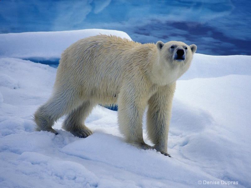 Polar Bear on the Ice