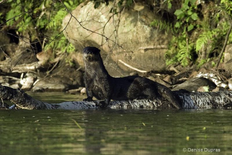 Otter on the Log