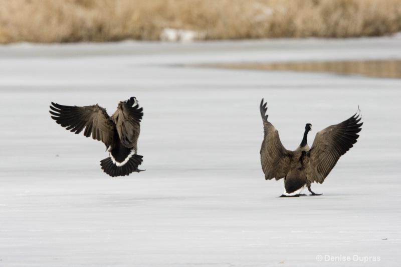Canad Goose Dance