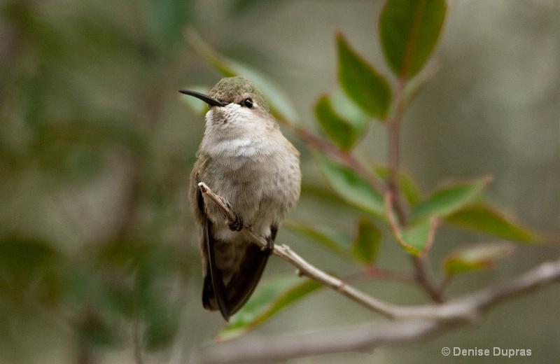 Costas Hummingbird Perching