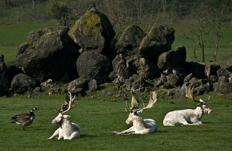 White Fallow Deer, Wildlife Safari-OR