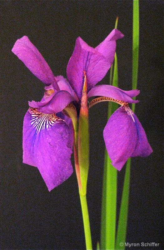 Purple Asian Iris No. 1