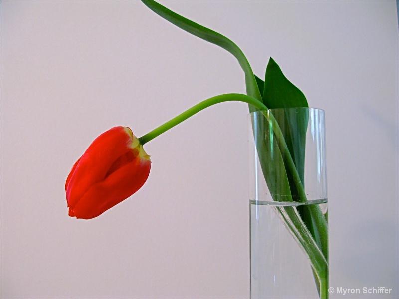 Lonesome Tulip 2
